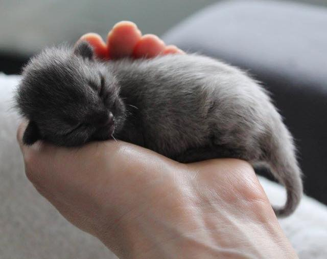 1_Tiny_Gray_Kitten