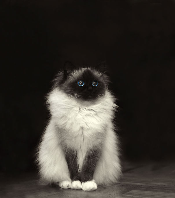 2-Fluffiest-fluffy-cats-in-the-world