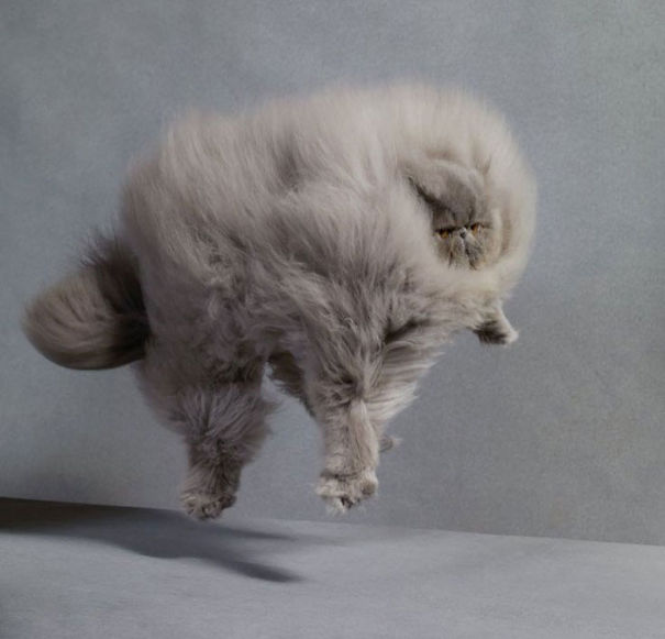 3-Fluffiest-fluffy-cats-in-the-world