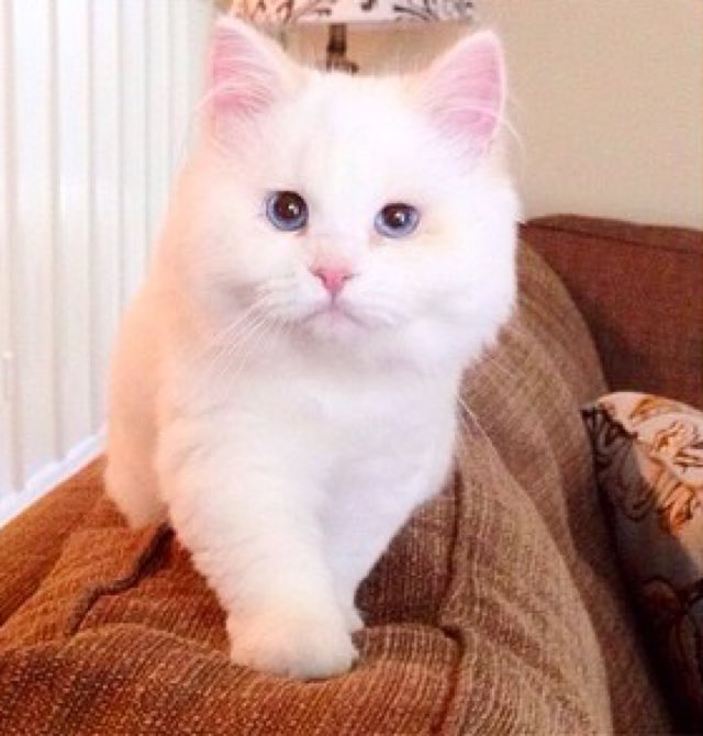 3_Adult_Ragdoll_Cat