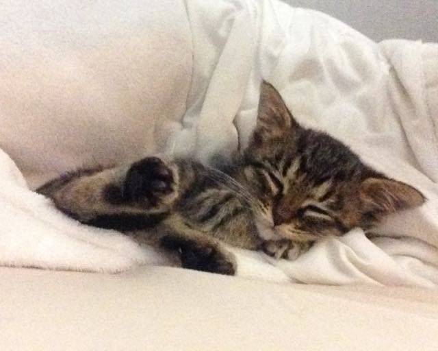 3_Tabby_Kitten_Sleeping