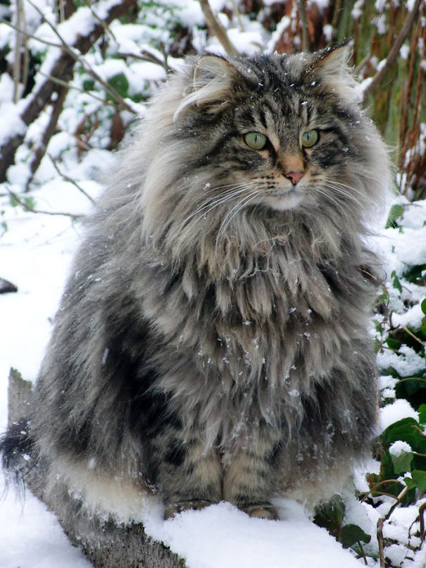 4-Fluffiest-fluffy-cats-in-the-world
