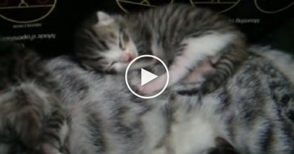 6 Day Old Kitten Enjoying The Most Comfortable Bed In The House…And It's Adorable!!