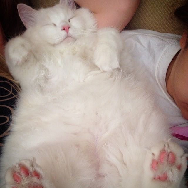 6_Fluffy_Cat_Tummy
