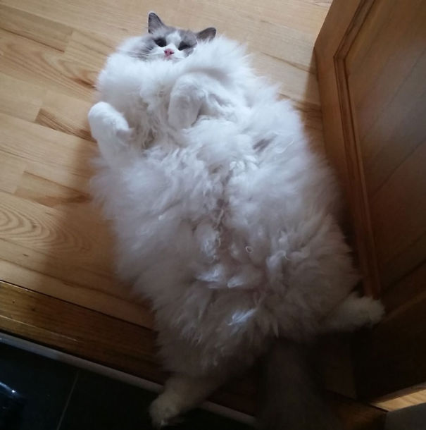 7-Fluffiest-fluffy-cats-in-the-world