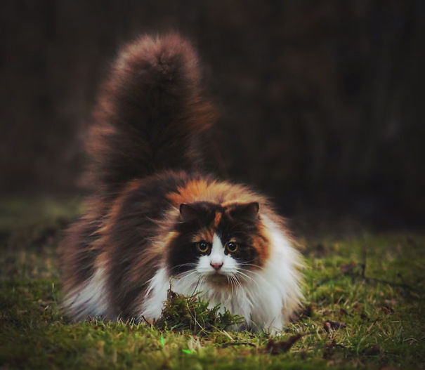 8-Fluffiest-fluffy-cats-in-the-world