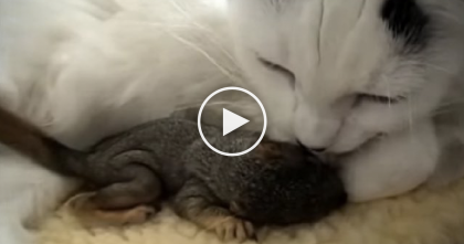 Cat Rescues Two Baby Squirrels Found In Yard, But Just Watch Them Now… AMAZING.