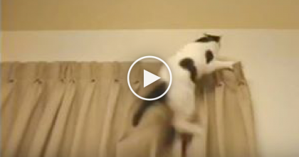 Kitty Gets Stuck On Top Of The Curtains AGAIN… Just Watch What Her Human Does…