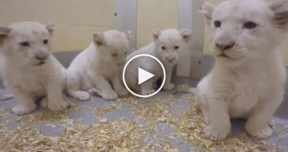 Rare White Lion Cubs Are Only 8-Weeks Old…And Cuter Than Ever, Just Watch!