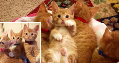 Six Little Ginger Kittens ALL From The Same Litter…But You Won't Be Able To Tell Them Apart!