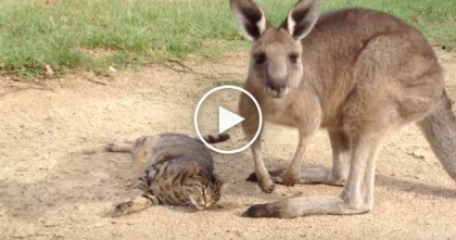 They Weren't Sure How The Kangaroo Would React To The Cat…But Just Wait Till You See THIS!
