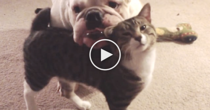 When Kitten Meets The Bulldog For The First Time… Just Watch, Awwwww!!