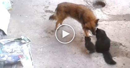 When Kittens And Mom See This Old Dog, Just Watch What Happens… Awwww!!