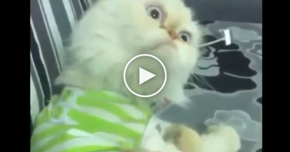 When You Scratch This Cat's Butt, His Reaction Is Just TOO Much… Omg, SOO Funny!!