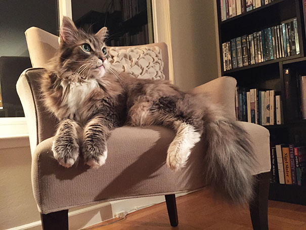 17_Maine_Coon_Cat_In_Chair