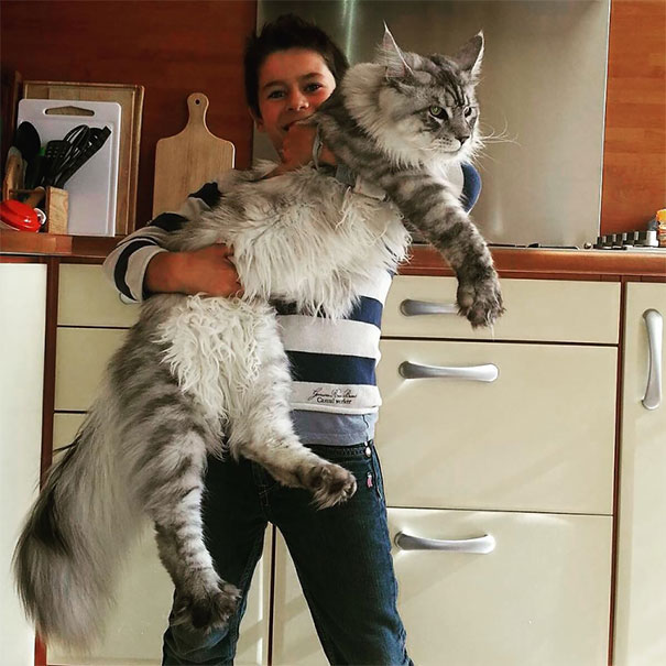 1_Maine_Coon_Cat