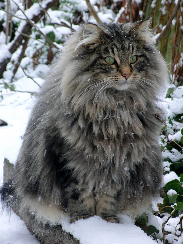 2_Huge_Maine_Coon_Cat