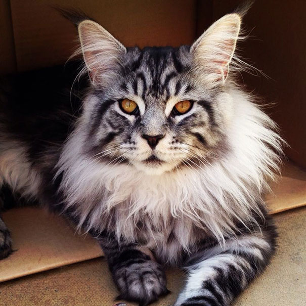 3_Big_Maine_Coon_Cat