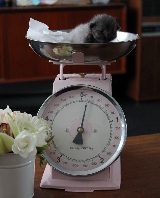 3_Kitten_On_Scale