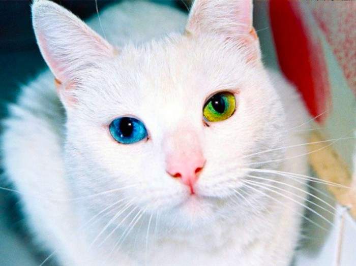 Heterochromia-cat
