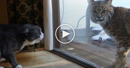 Cat Doesn't Know What To Do When He Notices Curious Bobcat Outside The Window… Whoa!