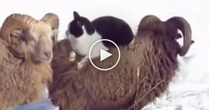 Cat Looking For A Piggy Back Ride, But The Next Thing You Know… Wait, Is That A Ram?!  LOL