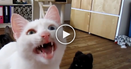 Cat Sees A Bug On The Wall, But Doesn't Know What To Make Of It, So He Does THIS… SOO Funny!!