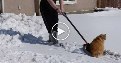 Fluffy Cat Helps Human Shoveling Snow, But Then Moments Later… He Just Loves THIS