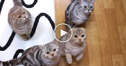 Fluffy Cats Meowing For Food Will Steal Your Heart, They're Just TOO Cute To Miss!!
