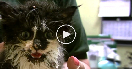 Fluffy Little Kitten Rescued, But Now It's Time To Learn To Eat… Omg, This Is VERY Messy, But CUTE!