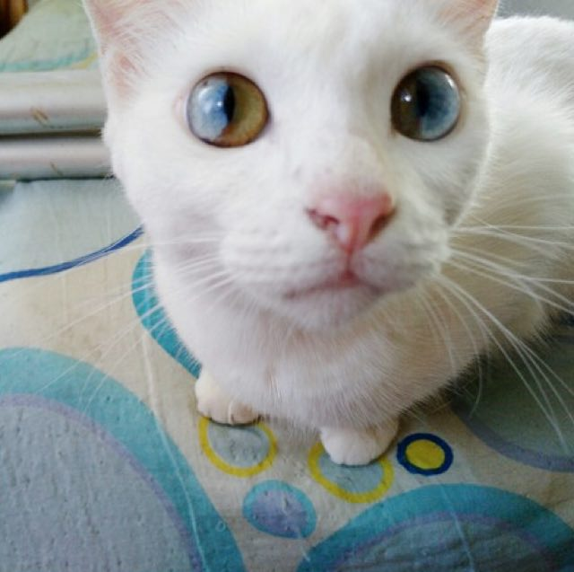 heterochromia-eyes-rare-cat-condition-beautiful-eyes-4