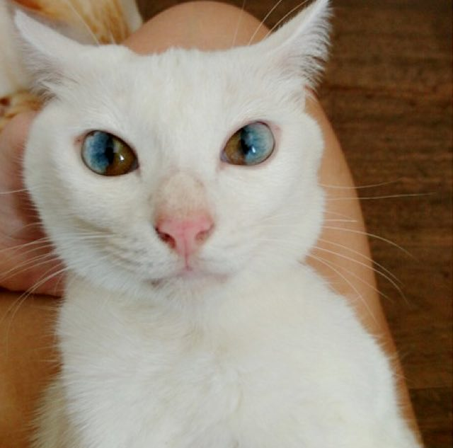 heterochromia-eyes-rare-cat-condition-beautiful-eyes3