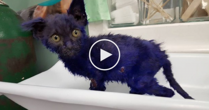 Kitten Dyed Purple, Then 'Thrown To Dog As Chew Toy' Sparks Outrage From Animal Activists…