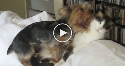 Kitty Refuses To Stop What He's Doing Until This Yorkie Is Completely Clean… LOL