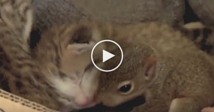 They Put This Abandoned Squirrel Baby With Some Kittens…And Now? He Can Even Purr!