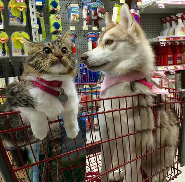 this-kitten-was-raised-by-husky-dogs-but-now-has-joined-the-husky-pack-its-a-miracle-10