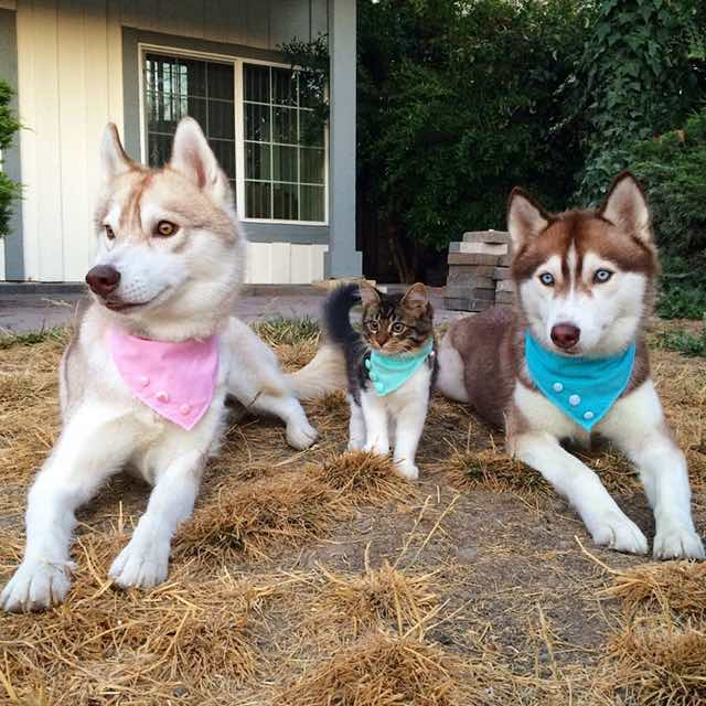 this-kitten-was-raised-by-husky-dogs-but-now-has-joined-the-husky-pack-its-a-miracle-7