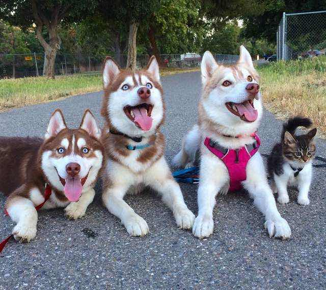 this-kitten-was-raised-by-husky-dogs-but-now-has-joined-the-husky-pack-its-a-miracle-8