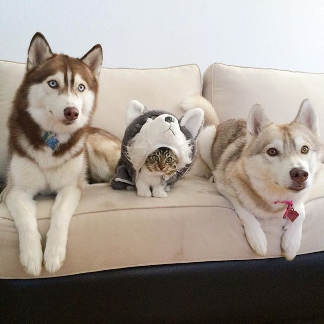 this-kitten-was-raised-by-husky-dogs-but-now-has-joined-the-husky-pack-its-a-miracle-9