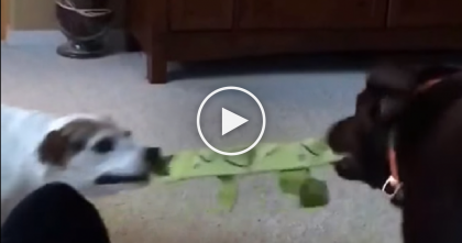 Two Dogs Are Fighting Over Something, But When Kitty Notices? I've Never Seen Anything Like It…