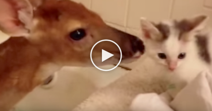 Abandoned Baby Fawn Meets Little Kitten For First Time… The Result Is Beyond ADORABLE.