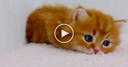Bright Eyed Little Orange Kitty Explores The World, But When You See His Face… My Heart Just MELTS.