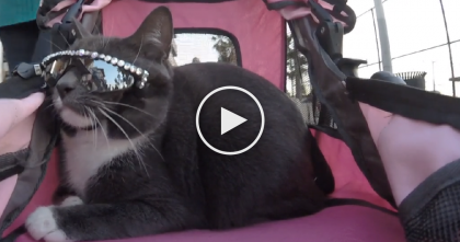 Cat Goes Everywhere In Stroller, But Take A  Closer Look At Her Eyes… What Are Those Sunglasses??