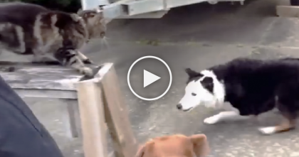 Cat Meets Dog For First Time, But Then At 0:16… OMG, This Kitty Isn't Messing Around!!