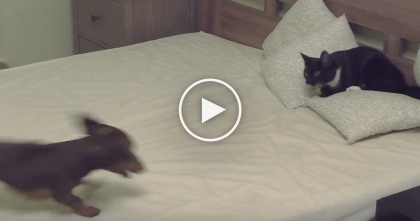 "Cat Protecting His Bed, But Then The Dog Jumps Up… Battle Time! ""No, You Can't Have This!"""