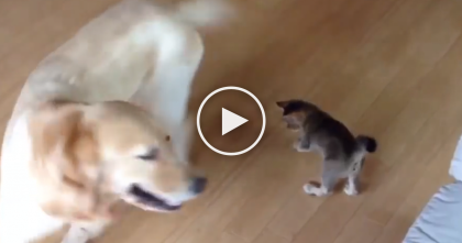 Kitten Notices Something In Doggie's Mouth…Now Start Watching, THAT'S When The Fun Begins!