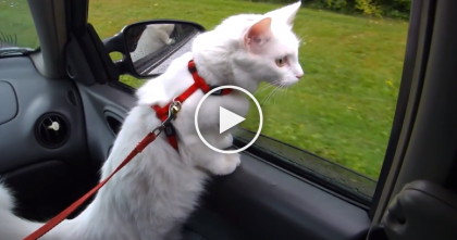 "Leashed Kitty Can't Resist The Urge Before Going On Walk, So He Does THIS… ""If Dogs Can, So Can I!"""