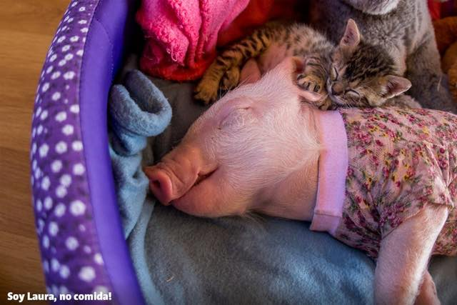 pig and cat-1