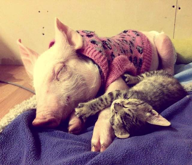 pig and cat-3