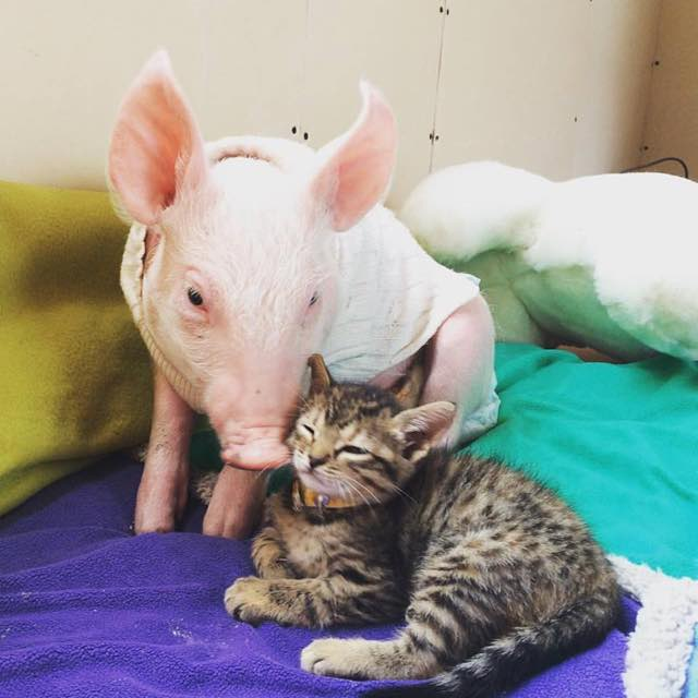 pig and cat-4